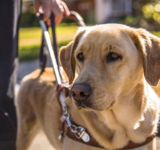 Szkolenie psa przewodnika osoby niewidomej